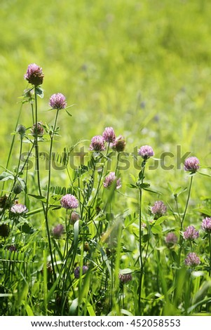 Close up of wild clover growing in the tall grass - stock photo