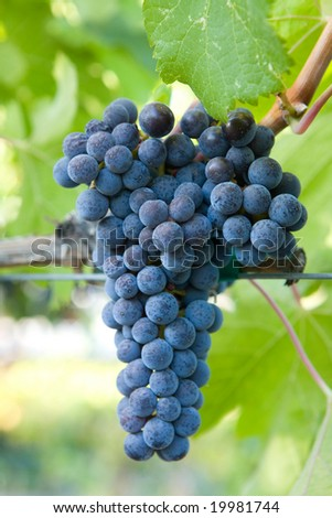 Close-up of Wine Grapes in a Vineyard - stock photo