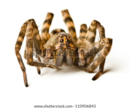Close up of wolf spider on white background - stock photo