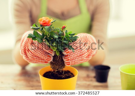 close up of woman hands planting roses in pot - stock photo