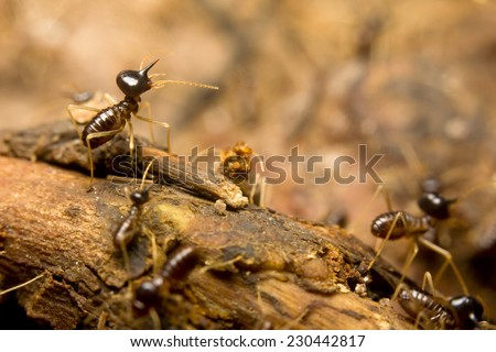 Close-up of worker termites on the forest floor, Borneo, Malaysia - stock photo
