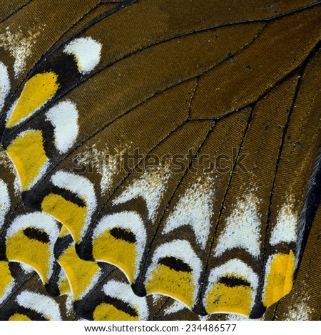 Close up of Yellow and Brown Butterfly wing of Lesser Zebra butterfly - stock photo