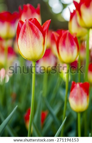 Close up of  yellow and orange tulip flower stem in tulip field on flower bulb farm - stock photo