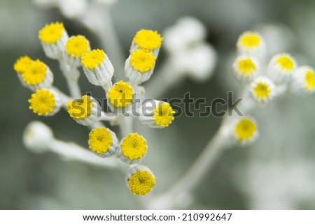 Close up of yellow flower buds of a curry plant (Helichrysum italicum) - stock photo