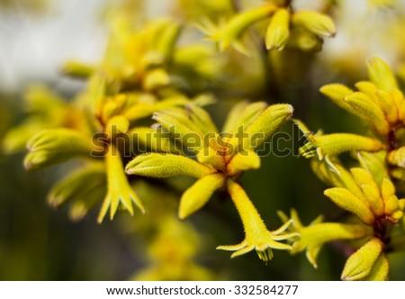 Close up of yellow kangaroo paw flowers - stock photo