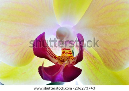 Close up of yellow moth orchid (Scientific name: Phalaenopsis aphrodite), macro photography. - stock photo
