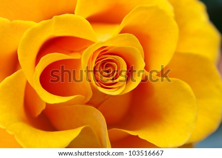 Close up of yellow rose - stock photo