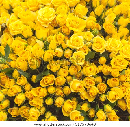 close up of yellow roses on the market. - stock photo