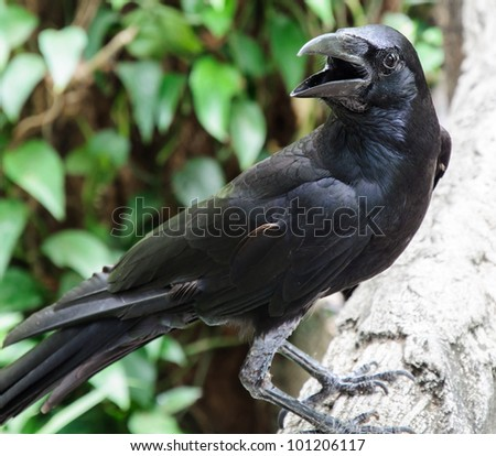 Close up of young crow in the zoo. - stock photo