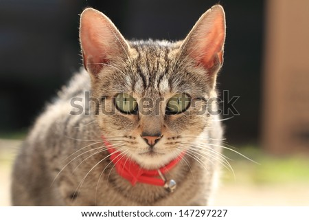 close up of young domestic cat with red collar - stock photo
