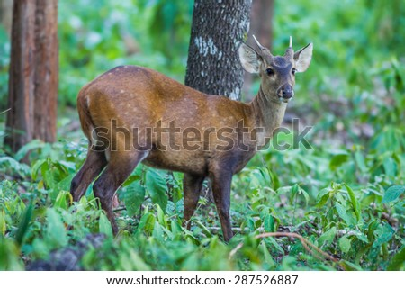Close up of young Hog deer(Cervus porcinus) in nature at Hui Kha Khaeng wildlife sanctuary ,Thailand - stock photo