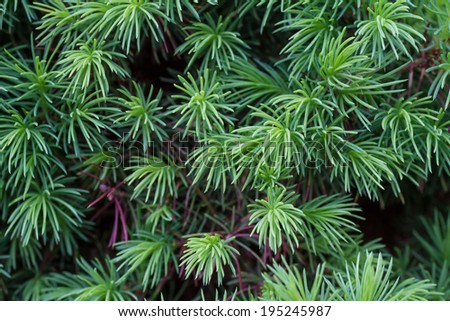 Close-up of young juniper needles in spring - stock photo