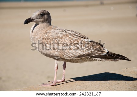 close up of young sea gull - stock photo