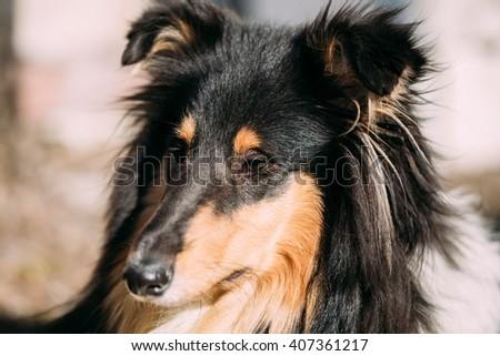 Close up of Young Shetland Sheepdog, Sheltie, Collie dog. - stock photo