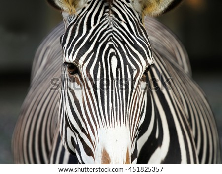 Close up of Zebra - stock photo