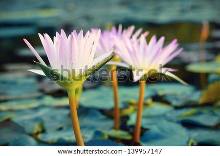 Close-up ofl pink water lily (Vintage tone style) - stock photo