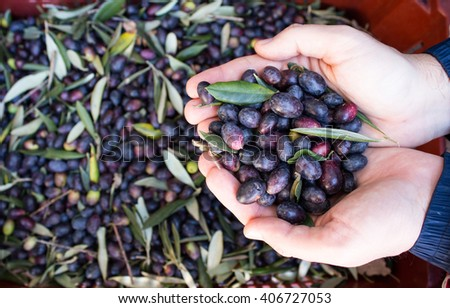 close up olives with hands, in liguria Italy / harvesting season - stock photo