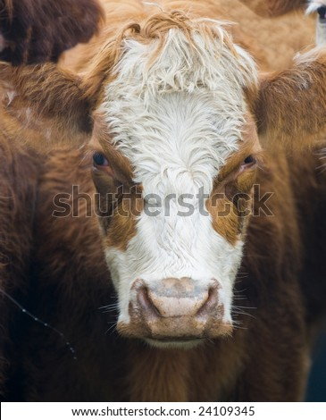 close up on a cow head in uruguay farm land - stock photo