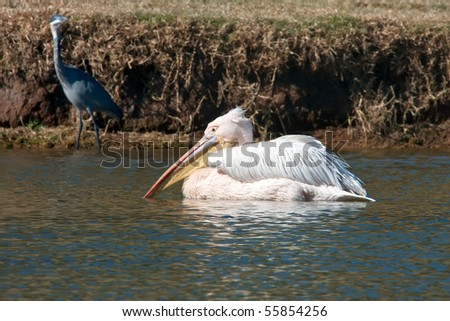 Close up on a pelican swimming in a lake - stock photo