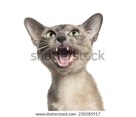 close-up on a Tonkinese meoowing   (18 months old) - stock photo