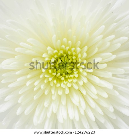 Close up on a white chrysanthemum - stock photo