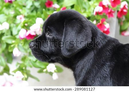 close-up on black labrador retriever puppy - stock photo