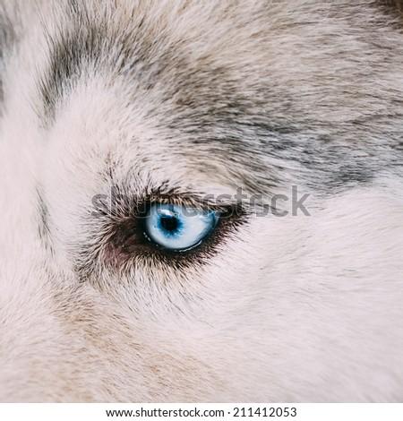 Close up on blue eye of a husky puppy Eskimo dog - stock photo
