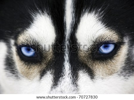 Close up on blue eyes of a dog - stock photo
