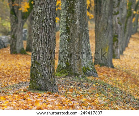 Close up on colorful autumn leaves and a chestnut trunks. More trunks in an alley, in the background. Parkway to the left. - stock photo