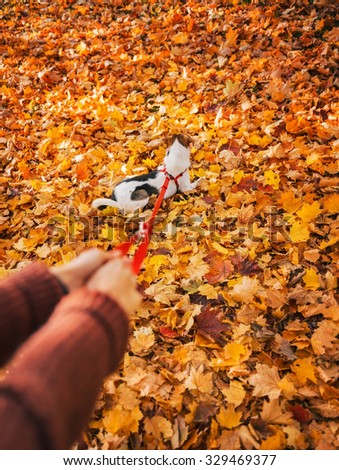 Close up on cute little dog on lead enjoying fall leaves in autumn park - stock photo