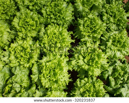 Close Up on Horticulture Garden growing Lettuce Plants inside Greenhouse with Aquaponic (Hydroponic) System - stock photo