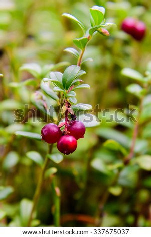 Close-up on lingonberries growing in the forrest. Low angle and shallow depth of focus. Green leaves filling up the background. - stock photo