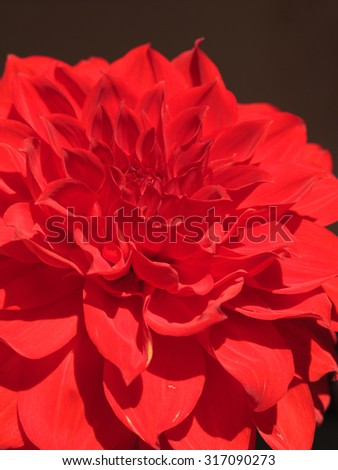 Close-up on red Dahlia flower with bloom petals, abstract floral background. - stock photo