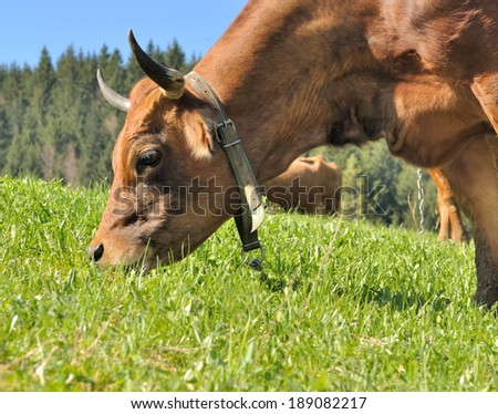 close up on the head of a brown cow grazing in the pastures - stock photo