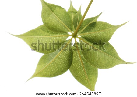 Close up on the leaf pattern of the endemic Australian boab tree, Adansonia gregorii. - stock photo