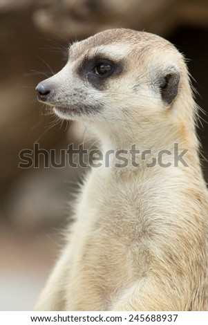 Close up on watchful meerkat stading guard - stock photo