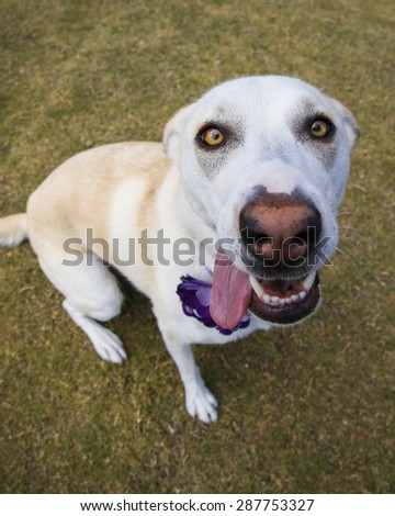 Close up outdoor portrait of a dog with her ears back and tongue out - stock photo