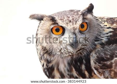 close up owl  - stock photo