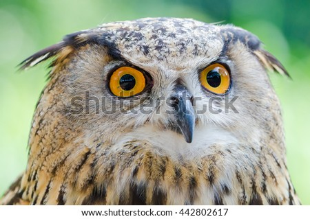 Close up owl face with green background  - stock photo