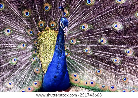 Close up Peacock with open Tail - stock photo