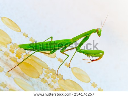 close up photo of a beautiful big praying Mantis green insect - stock photo