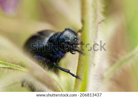 Close up photo of a big black chafer - stock photo