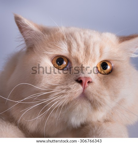 Close-up photo of a brown kitten looking up,  Studio shot. Shallow depth of field. Focus on eyes. Extreme close-up. - stock photo