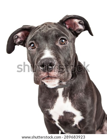 Close-up photo of a cute six month old mixed large breed puppy dog looking into the camera - stock photo