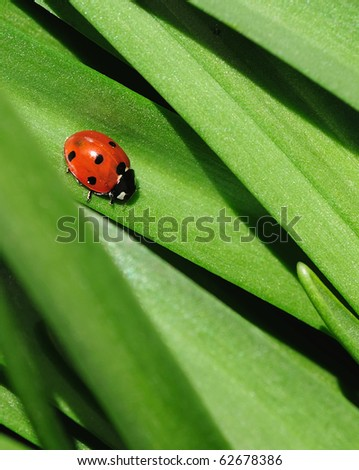 Close-up photo of a ladybird walking down a green leaf - stock photo