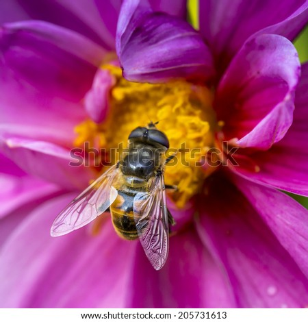 Close-up photo of a Western Honey Bee gathering nectar and spreading pollen. - stock photo