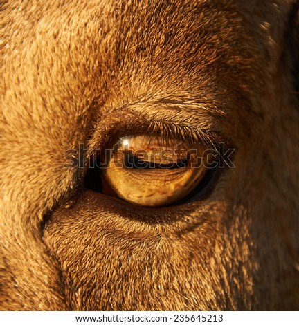 close-up photo of adult male sheep eye - stock photo