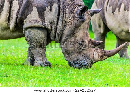close up photo of an endangered rhino's face - stock photo