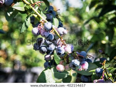 Close up photo of blackberry bush. Seasonal gardening scene. Natural delicacy. - stock photo