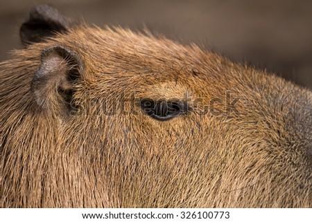 Close up photo of Capybara, Hydrochoerus hydrochaeris, the largest rodent - stock photo